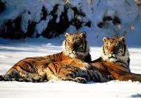 28只藏獒老虎决斗视频